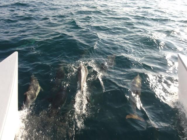калифорния дельфины